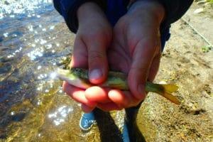 pêche jeune saumon nive d'arnéguy